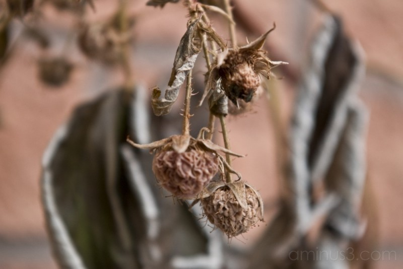 The raspberries that died in the cold of winter