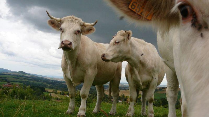 Vache d'Auvergne - 3