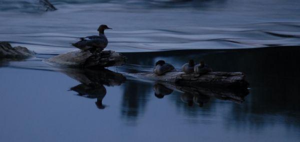 Bonne nuit les canards