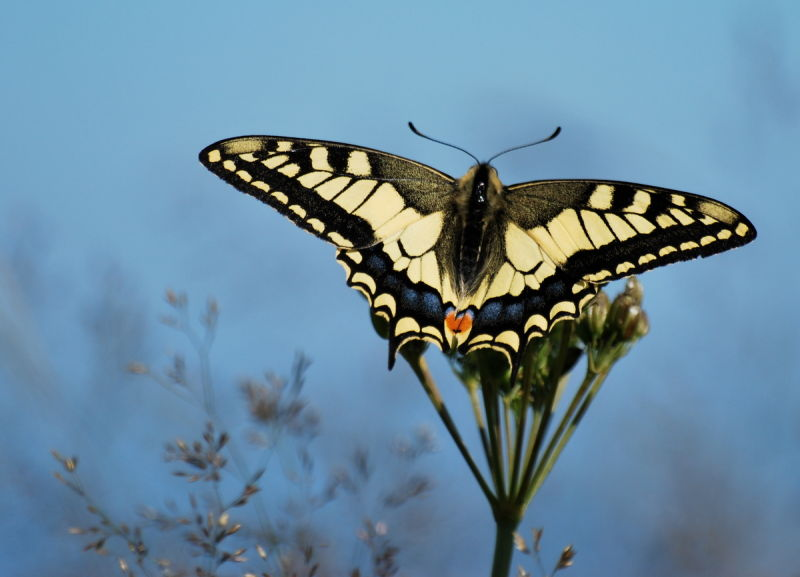 Un machaon....
