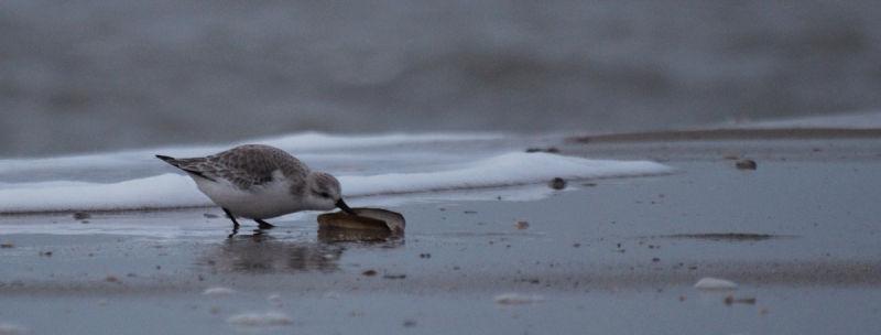 Bécasseau sanderling (hé hé !)