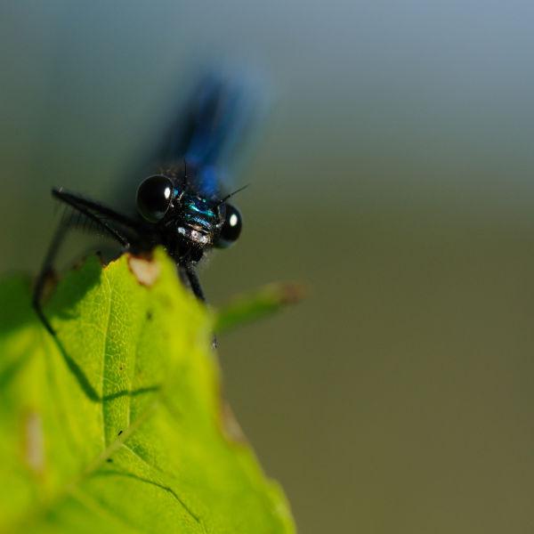Princesse bleue