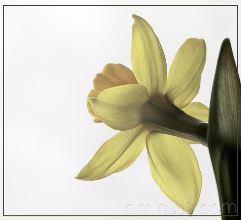 Daffodil hand colour