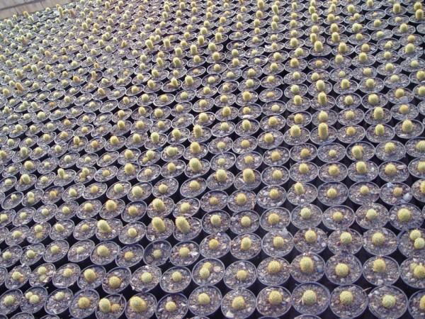 Cactus in Mahallat