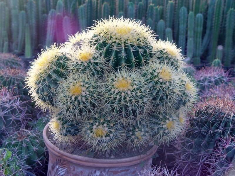 Cactus in  Mahhalat