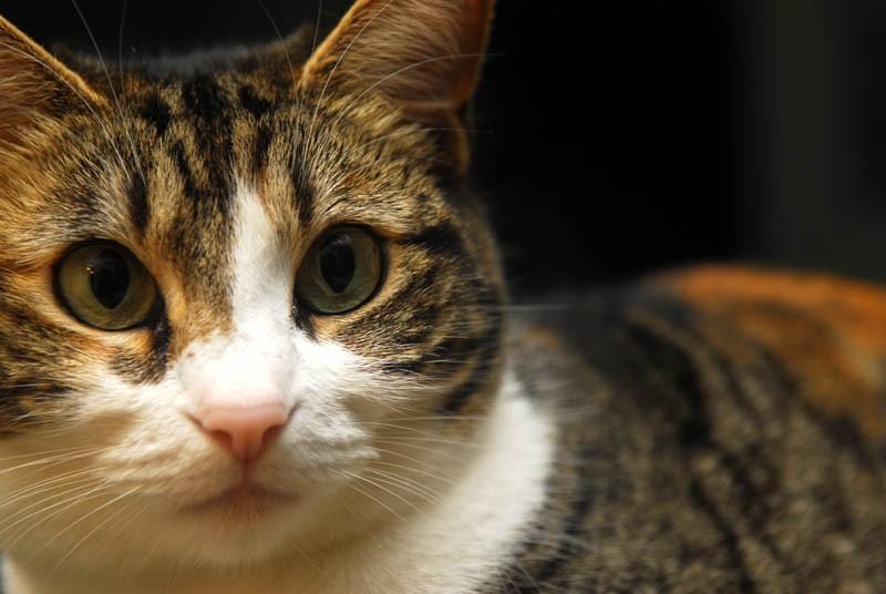 Iris the Cat