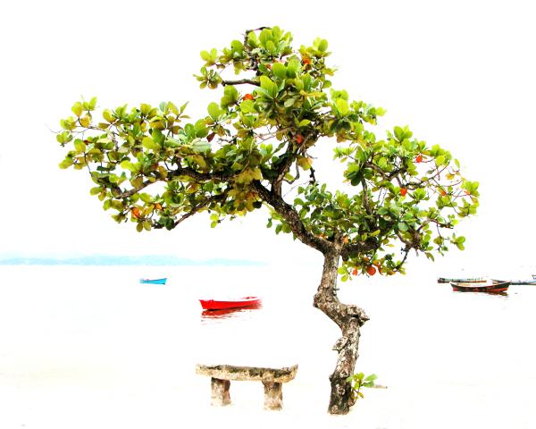 Almond tree at Paquetá Rio de Janeiro, Guanabara