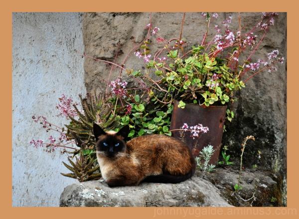 Un gato en el jardín de crasuláceas