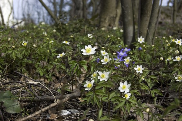 Anemones in the wood