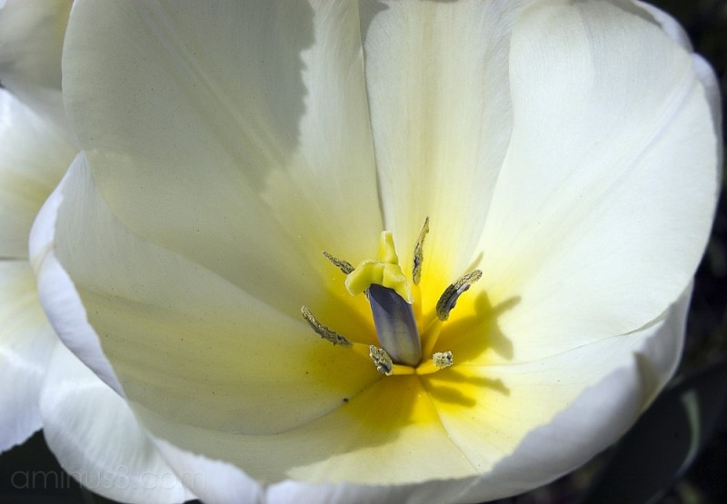 Inside of a white tulip