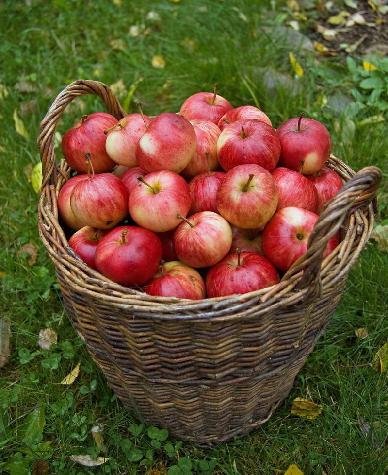 A basketfull of apples