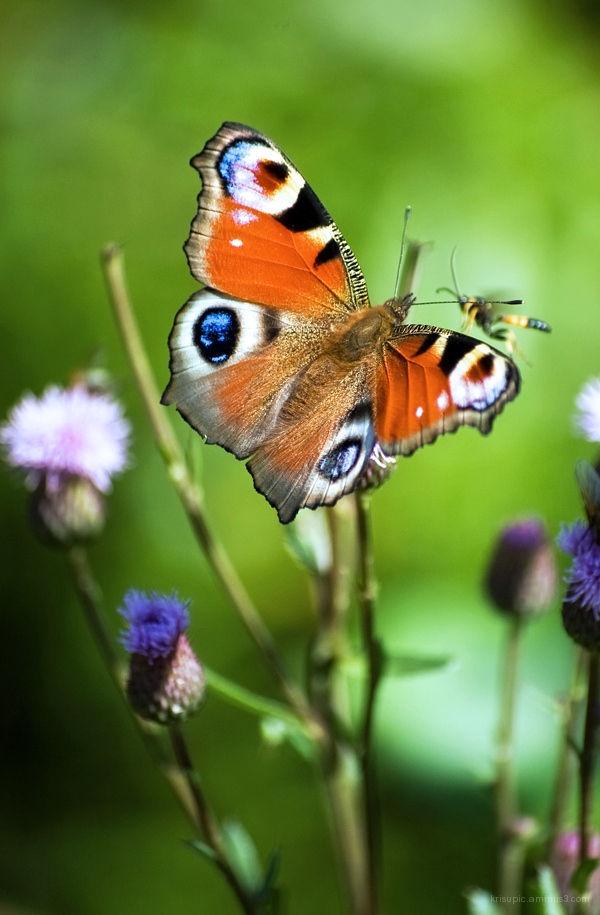A Peacock butterfly - Neitoperhonen