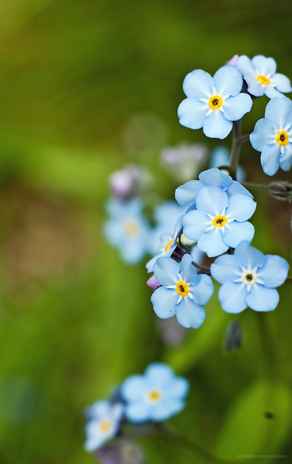 Forget - me - not