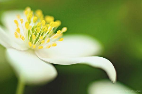valkovuokko • vitsippan • wood anemone