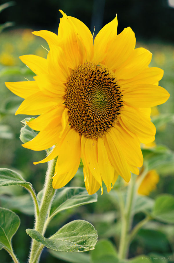 Sweet Miss Sunflower