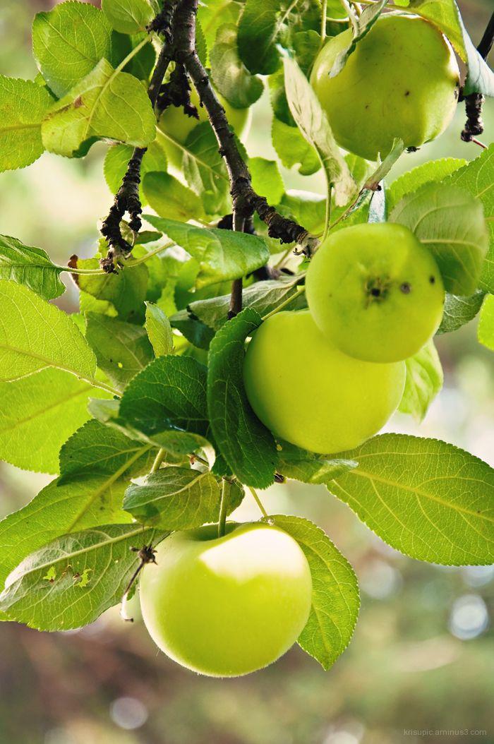 Appletree branch