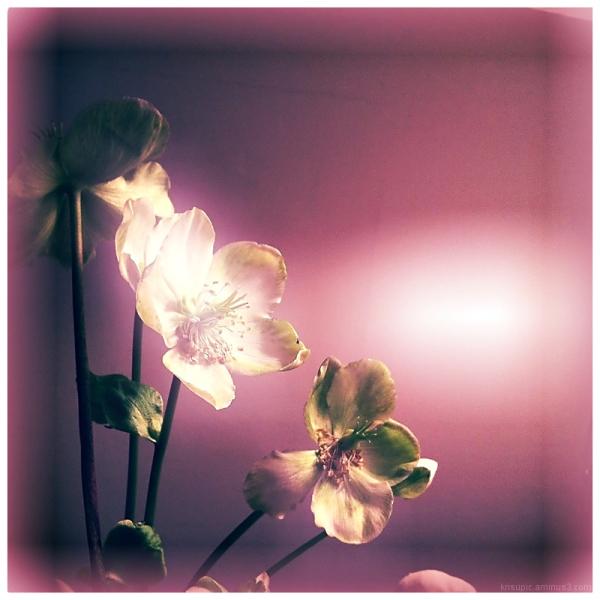 jouluruusu -  hellebore - christmas rose