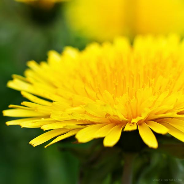 dandelion forever