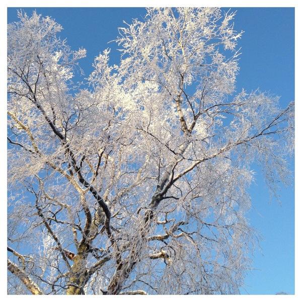 frosty birch and blue sky...