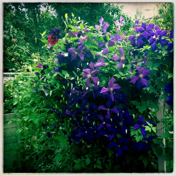 my blooming clematis