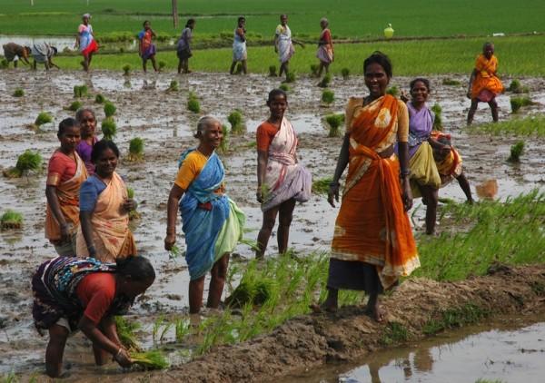 Rice planters Tamil Nadu South India