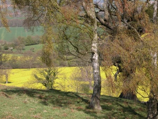 Oilseed Rape Mortimer's Forest Ludlow Shropshire