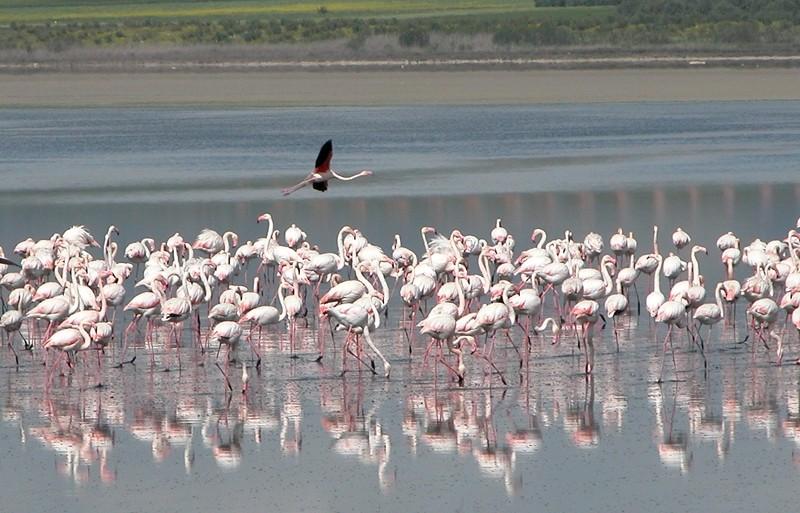Flamingoes Fuente-de-la-Piedra Andalusia Spain