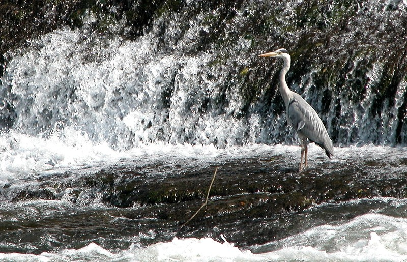Heron River Teme Ludlow Shropshire UK
