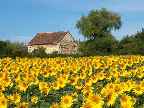 Sunflowers South of France