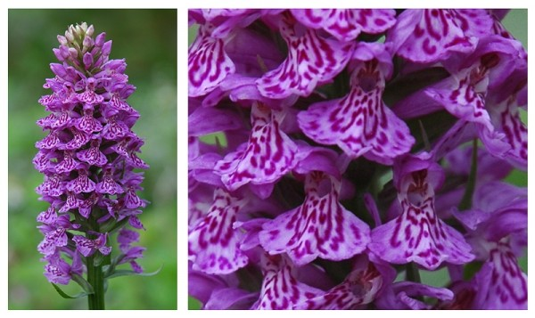 Marsh Orchid Anglesey Wales