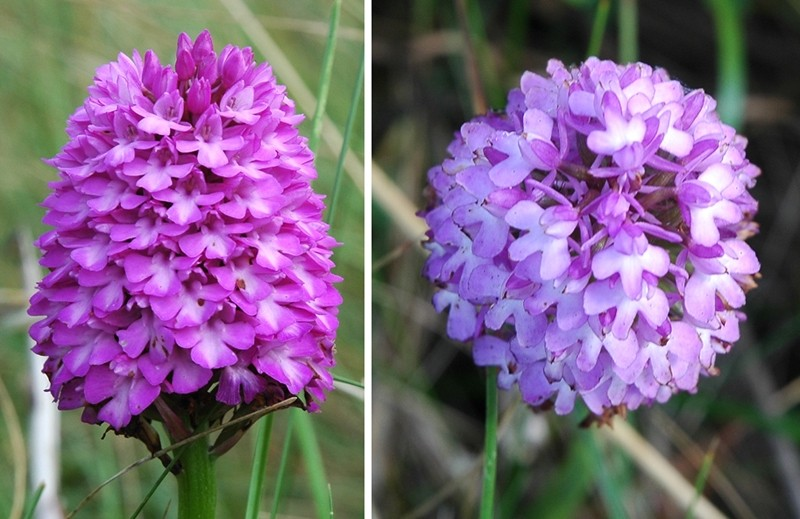 Pyramid Orchids Anglesey Wales