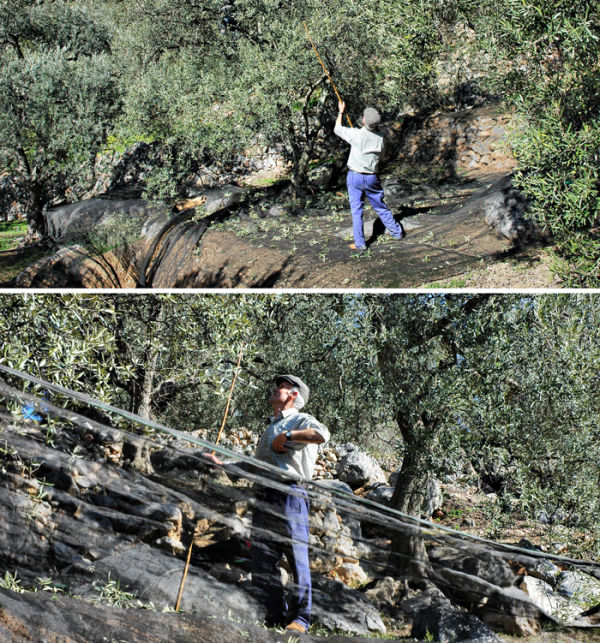 Olive Harvest Comares Andalusia Spain