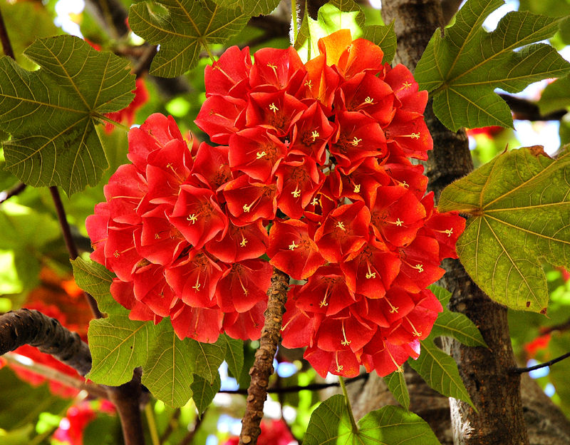 Flowering tree Botanic gardens Funchal Madeira