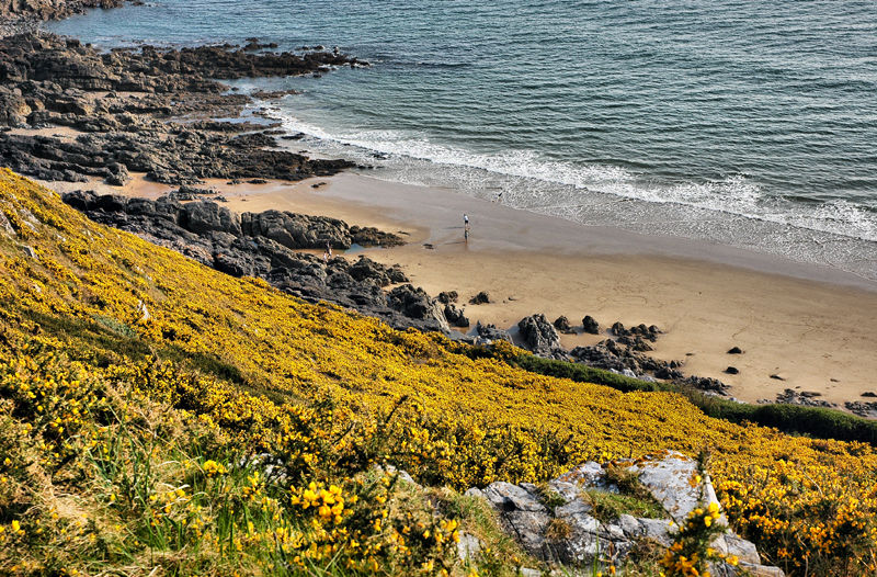 Gorse Caswell Bay Gower Wales