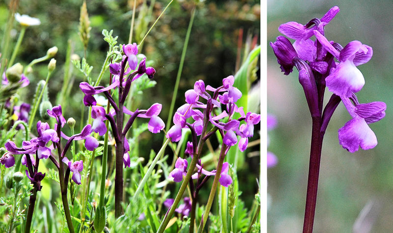 Lax Orchids Axarquia Andalusia Spain