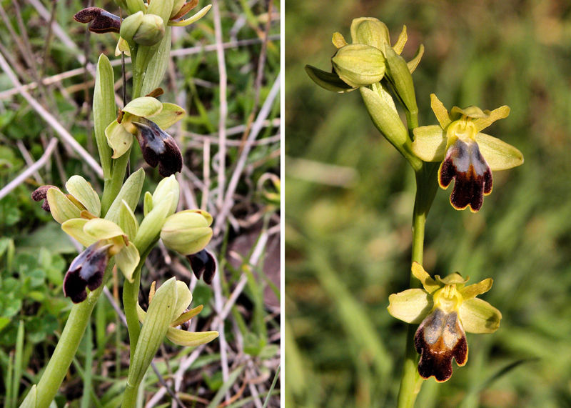 Sombre Bee Orchids Axarquia Andalusia Spain