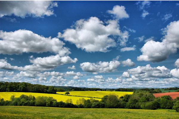 Oilseedrape Caynham Shropshire UK