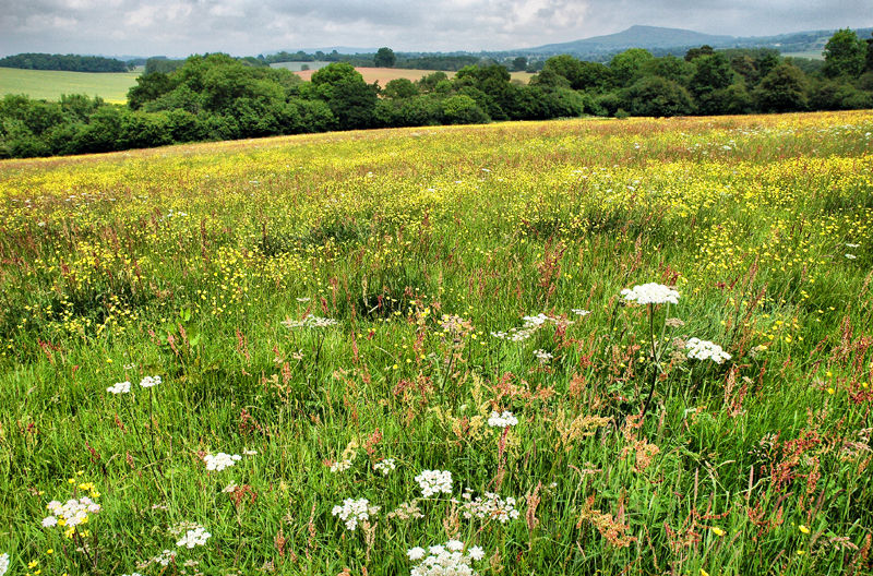 Buttercups landscape Caynham Shropshire UK