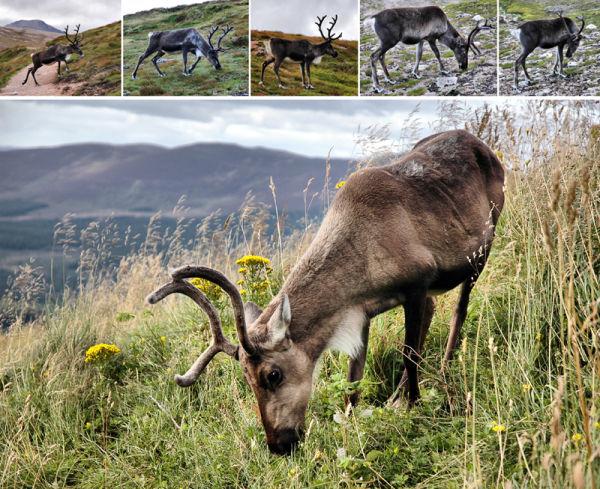 Reindeer Cairngorms Scotland