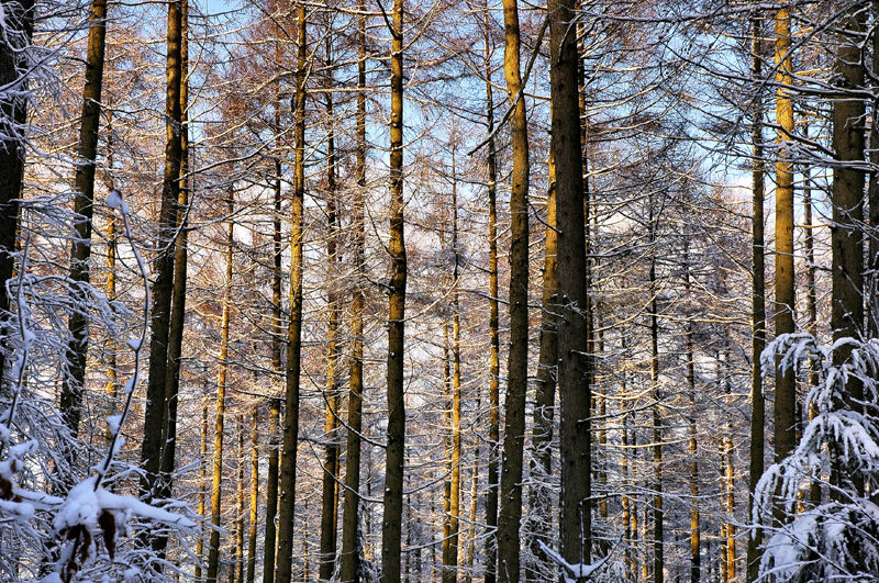 Trees Snow Mortimers Forest Shropshire UK