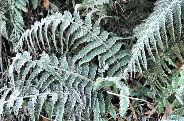Ferns Frost Ludlow Shropshire UK