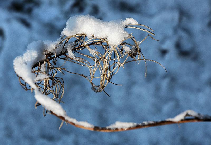 Snow Plant Ludlow Shropshire UK