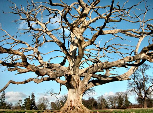 Dead Tree Bromfield Shropshire UK