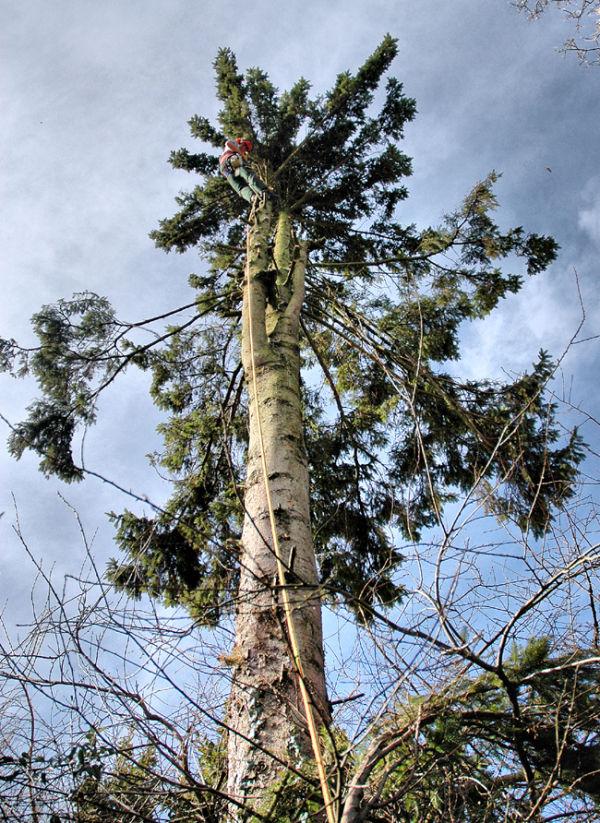 Tree Felling Ludlow Shropshire UK