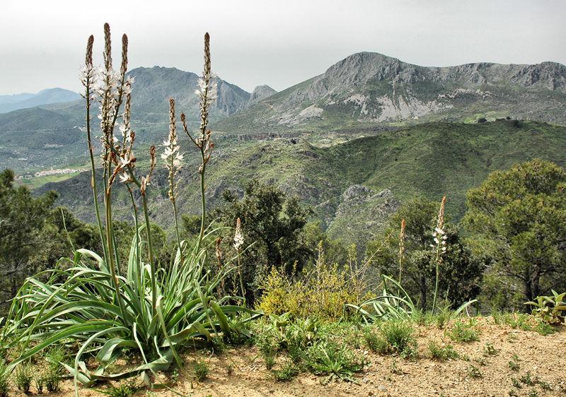 Asphodel Axarquia Andalusia Spain