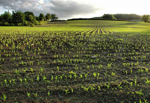 Corn Summer Shropshire UK
