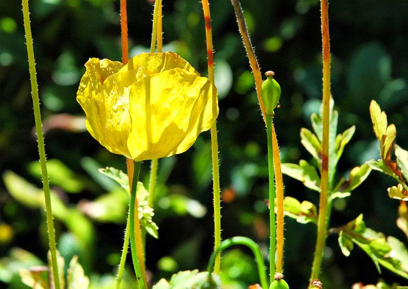 Welsh Poppy Ludlow Shropshire UK