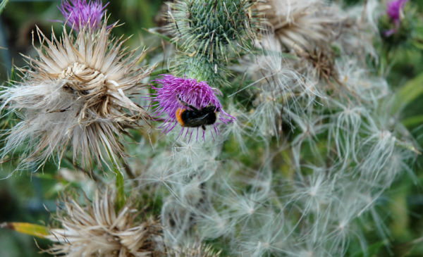 Bee Thistle South Shropshire UK