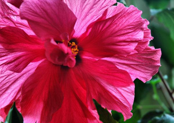 Hibiscus Ludlow Shropshire UK