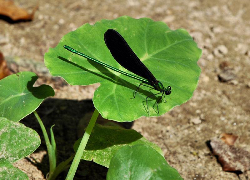 Damsel Fly Kuang Si Waterfall Luang Prabang  Laos